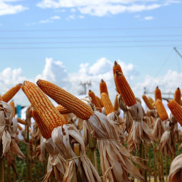 Estudos da Fundação MS mostram como amenizar riscos de perdas do milho em período de estresse hídrico